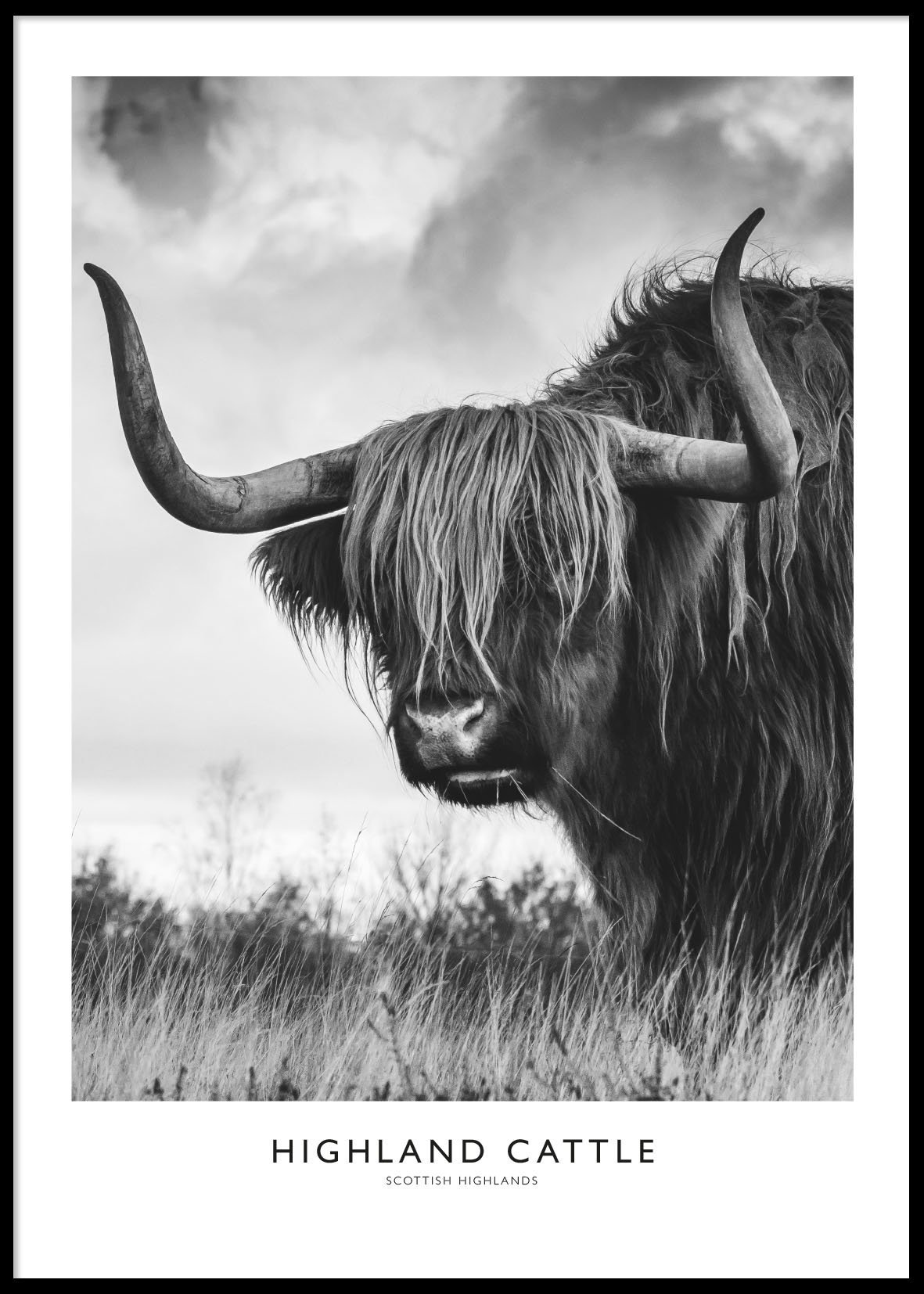 HIGHLAND CATTLE #3 POSTER