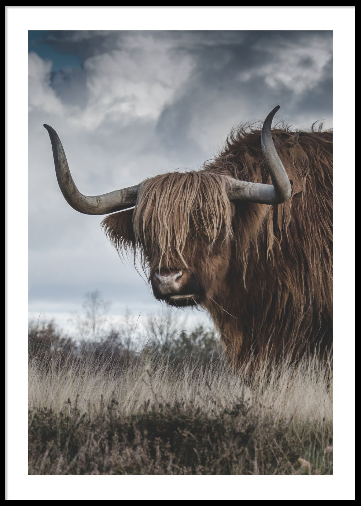 Highland cattle 50x70